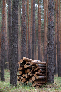 Stack of firewood in pine forest