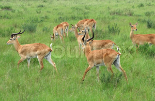 Uganda Kobs in grassy vegetation