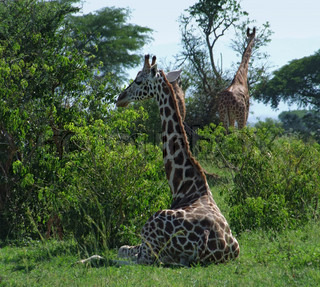 Giraffes in green vegetation