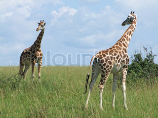 sunny scenery with Giraffes in Uganda