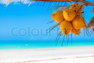 Close-up of tropical palm tree with yellow coconut against the blue sky