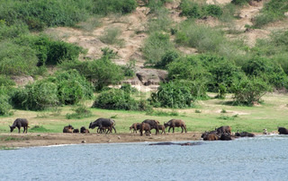 African Buffalos waterside in Uganda
