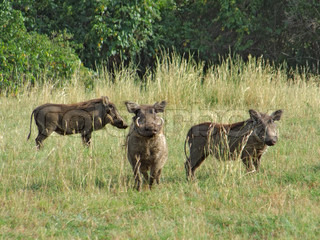 warthogs in Africa