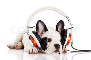 dog listening to music with headphones isolated on white background.  French bulldog puppy portrait on a white background