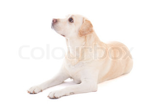 young beautiful golden retriever isolated on white