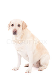 young beautiful golden retriever sitting isolated on white