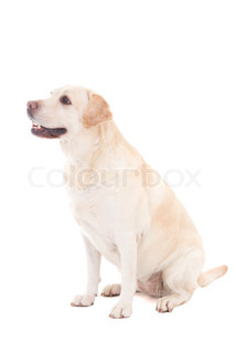 young beautiful golden dog sitting isolated on white