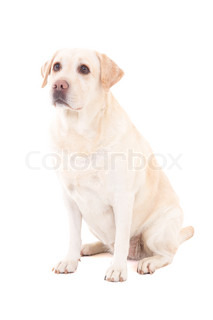 young beautiful dog (golden retriever) sitting isolated on white