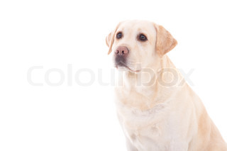 portrait of young beautiful dog (golden retriever) sitting isolated on white