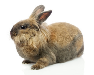 Brown and white lionhead rabbit - photo#5