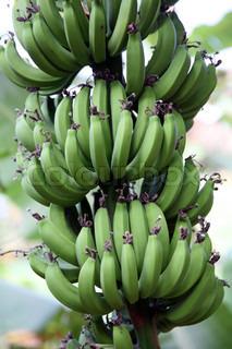 Billede af 'plantage, plant, palm'