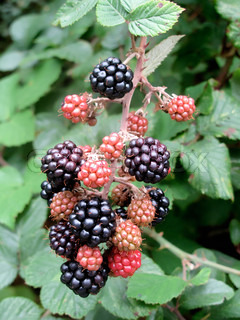Mulberry tree with ripe berries