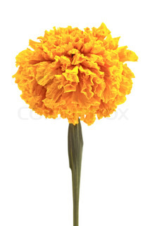 Calendula or pot marigold medicinal herbs on white background