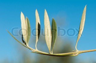 Olive branch without olives