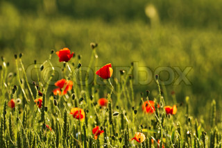 Poppies, spring 1