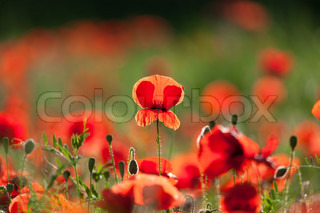 The poppies 9
