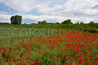 The poppies 8
