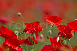 The poppies 2