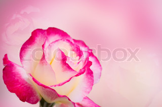 Pink rose with pink background