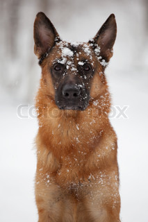 Shepherd sitting with the face in the snow