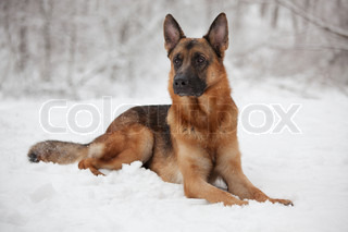 Beautiful shepherd lying on the snow