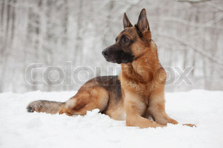Beautiful shepherd lying on the white snow
