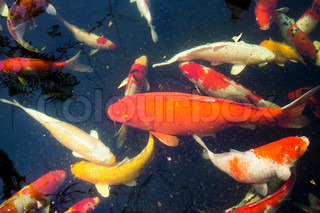 Koi ponds of dirty water is not clean.