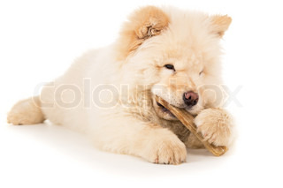 White Chow Chow with the bone