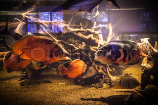 Shoal of piranha fishes in an aquarium