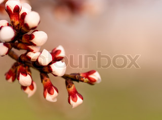 background of one of the branches with apricot blossoms flower macro