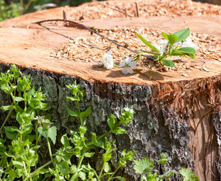 branch of a cherry tree lies on a stump