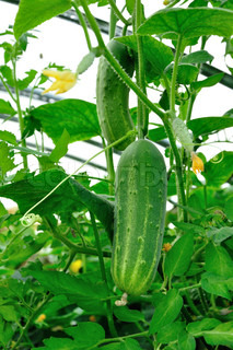 Big greeen cucumber growing in hothouse