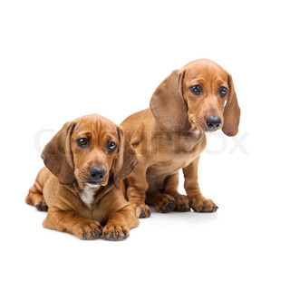 Two Dachshund Puppies / Isolated