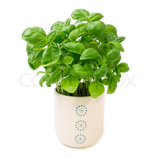 Basil plant in white flower pot isolated on white