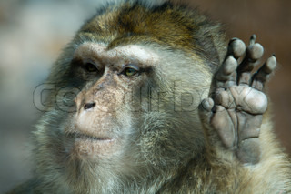 Barbary Macaque hand