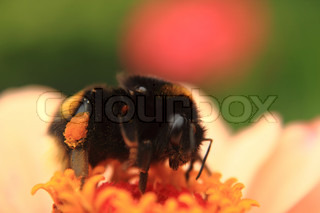 humble bee on the flower
