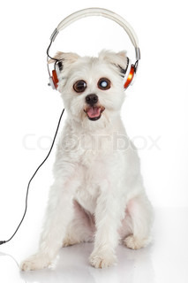 dog listening to music with headphones  isolated on white background.  funny surprised dog