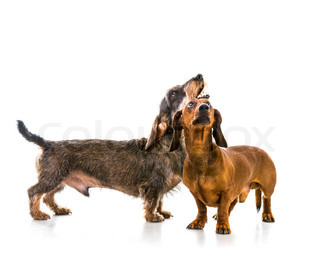 two dachshund dogs