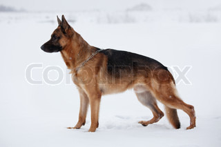 Shepherd warily looking ahead standing on snow