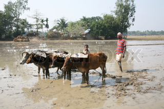 Farmers plowing agricultural field in traditional way where a plow is attached to bulls in Gosaba, West Bengal, India.