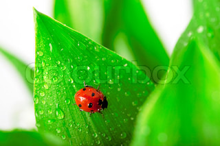 Ladybird sitting on a leaf with drops of water