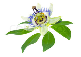 Passionflower flower on a leaf is isolated on white background, closeup