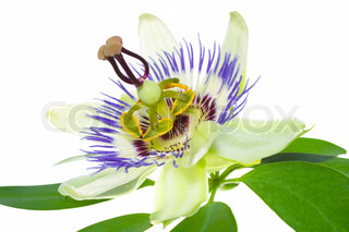passionflower flower with the leaf is isolated on white background, closeup
