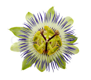 passionflower on the white, isolated and close-up