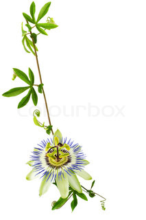 branch passionflower flower is isolated on white background