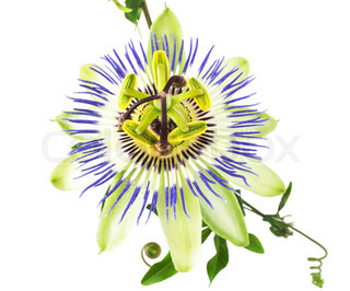 passionflower flower is isolated on white background, closeup