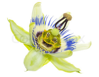 passiflora flower is isolated on white background