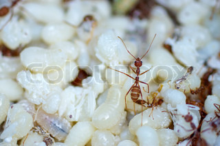 Red ants with white eggs