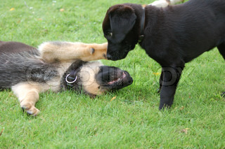 Billede af 'hunde, labrador, lege'