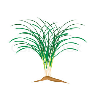 A Fresh Lemon Grass Plant on White Background